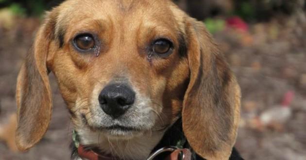 chienne beagle