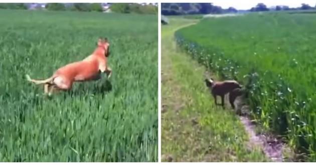 chienne saute herbes