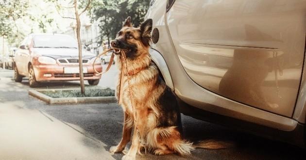 le mans deux chiens d c dent dans la voiture de leur ma tre gar e au soleil soci t wamiz. Black Bedroom Furniture Sets. Home Design Ideas
