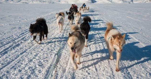 chiens de traineau au groenland