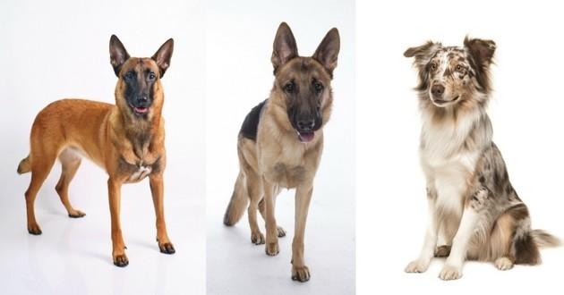 berger belge chien préféré des français