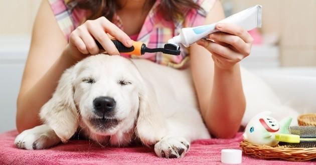 brosser les dents de son chien