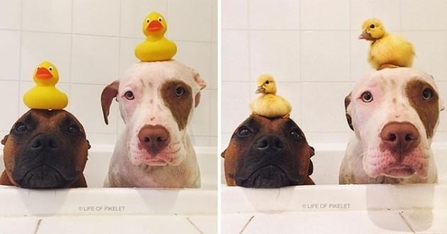 Quand deux adorables chiens de refuge adoptent deux canetons orphelins