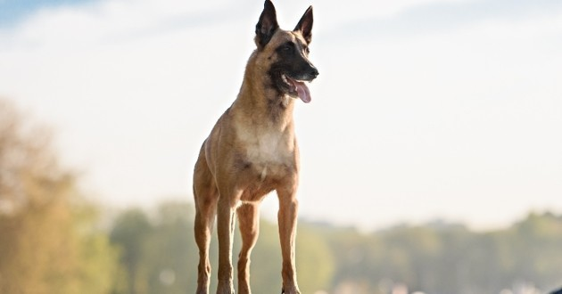 Berger malinois chien euro 2016