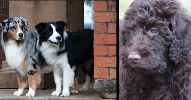 chiens hybrides border-aussie labradoodle