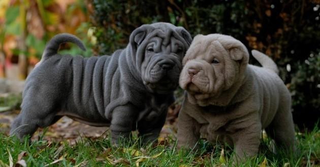 Le Royaume-Uni de plus en plus inquiet en raison de l'obésité des chiens du pays