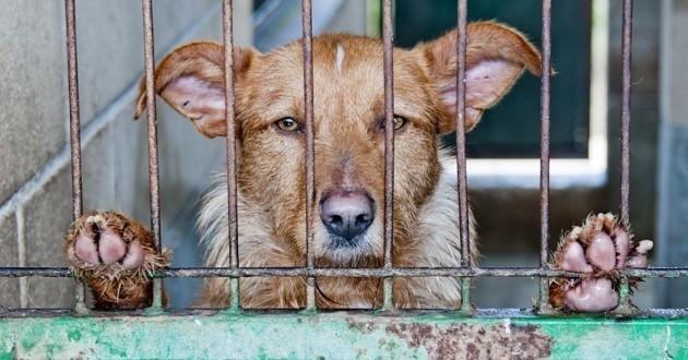 chien enfermé trafic de viande