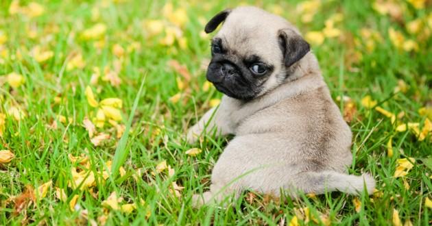 chiot carlin dans l'herbe