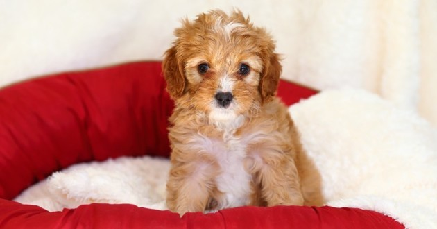 Adorable chiot cavapoo