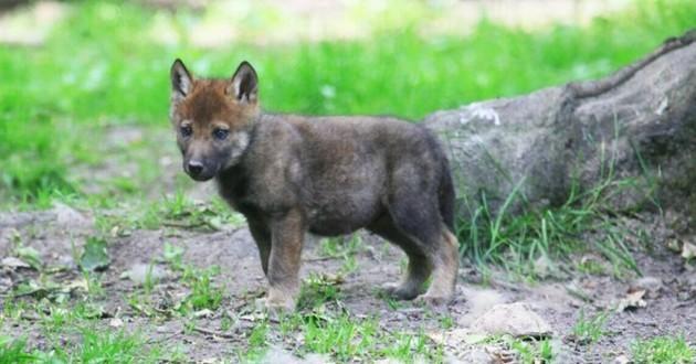 loup dans la nature