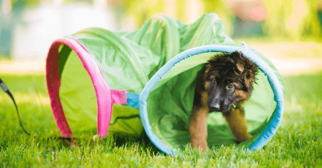 Chiot Berger Allemand qui joue dans un tunnel pour chien