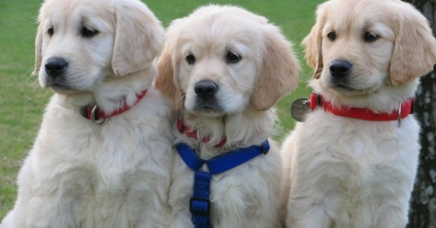 royal canin chiens guides d'aveugles