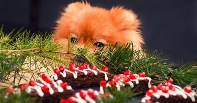 chiens mangent chocolat