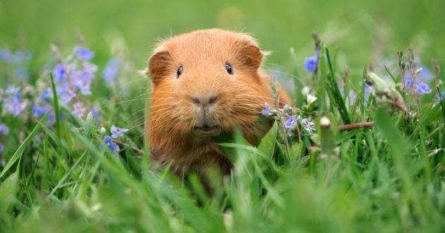 un cochon d'inde dans l'herbe