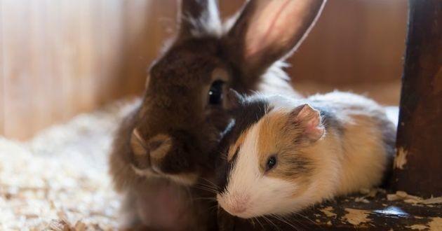 un lapin et un cochon d'inde