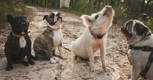 Olive cochon et chiens