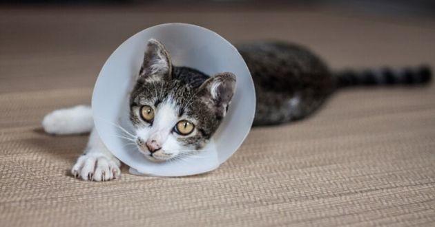 un chat gris qui porte une collerette