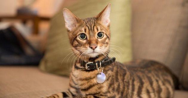 chat tigré qui porte un collier