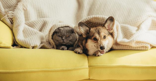 Un chien et un chat sous une couverture sur un canapé