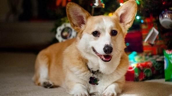 chien Corgi Noël
