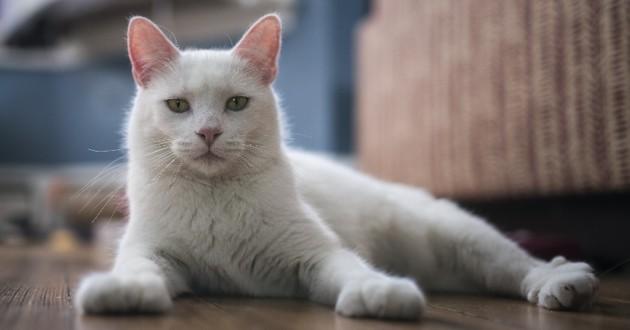 chat blanc retrouvé
