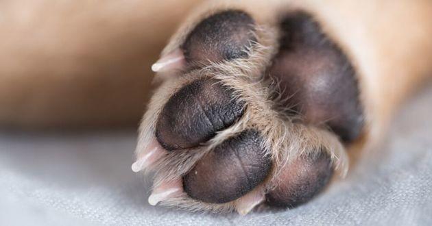 coussinet patte chien