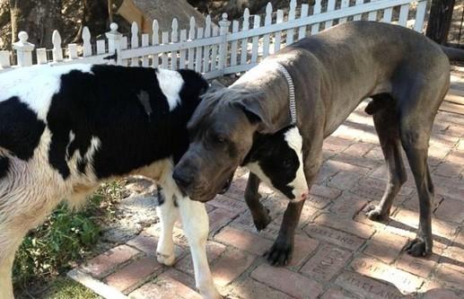 un veau se prend pour un chien