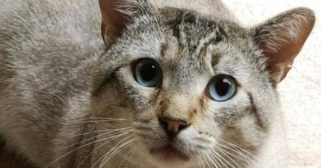 chat gris yeux bleus