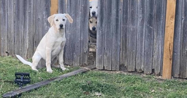 Crackers assis devant la barrière cassée avec la tête des trois autres chiens qui dépassent