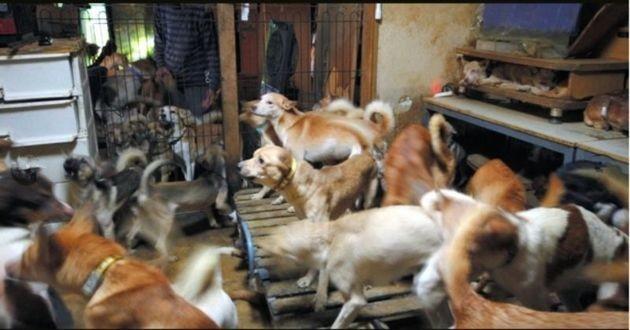 chiens maltraités entassés dans 30m2