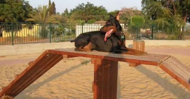 chien dobermann