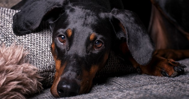 dobermann couché
