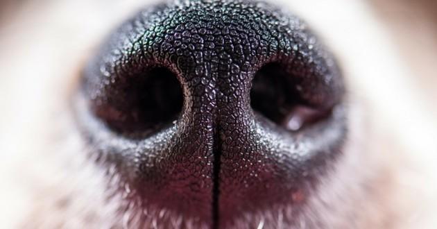 chien détecteur cancer
