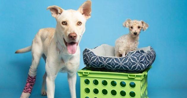 deux chiens don de sang