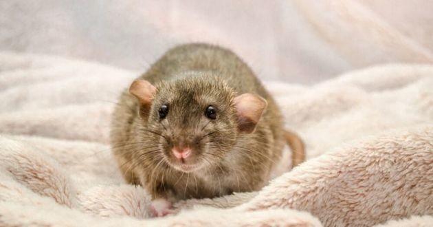 rats mignons noirs et blancs