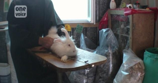 Elevage de lapins angoras