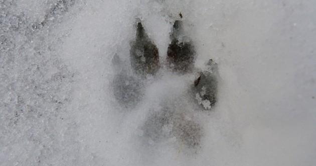 empreinte de patte de chien dans la neige