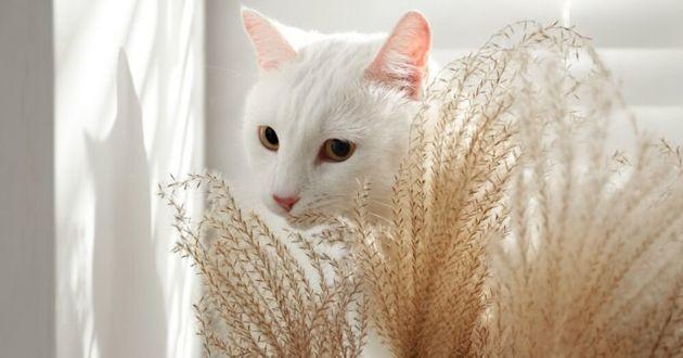 chat blanc épillets