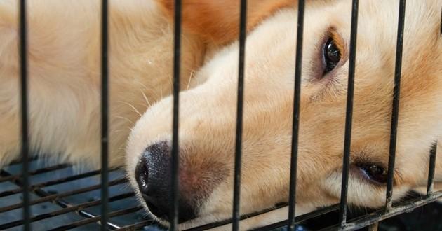 expérimentation animale chien