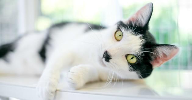 chat noir et blanc allongé