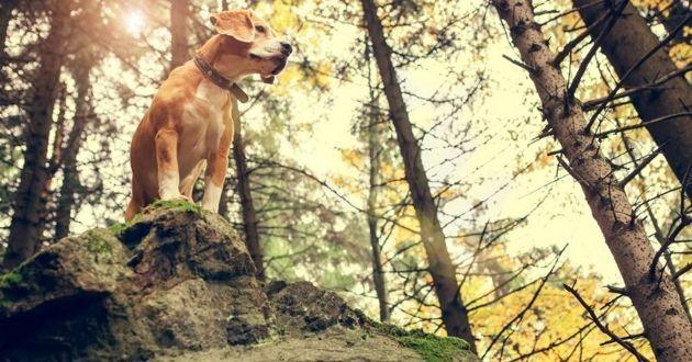chien de chasse sur une falaise en hauteur