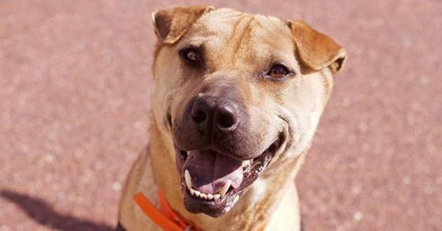 chien croisé sharpei à adopter
