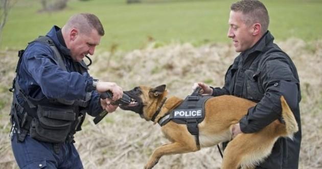 La fiabilité du flair des chiens de la police confirmée grâce à une étude scientifique