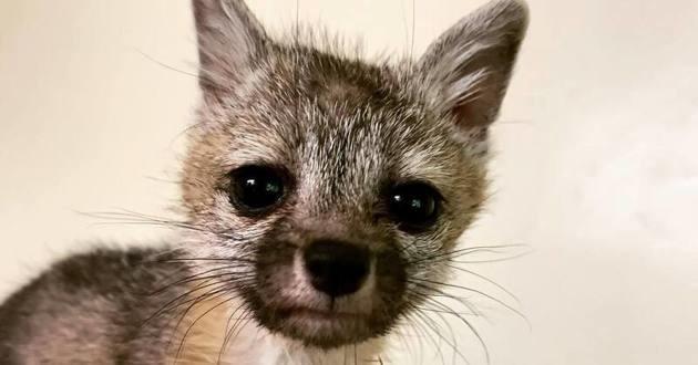 Foxy la petite renarde