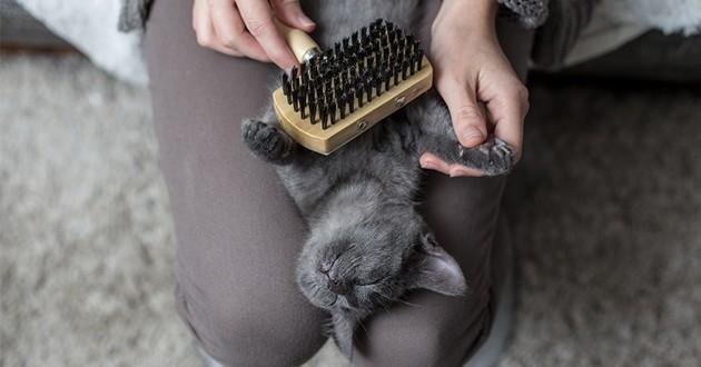 un chat allongé sur les genoux qui se fait brosser