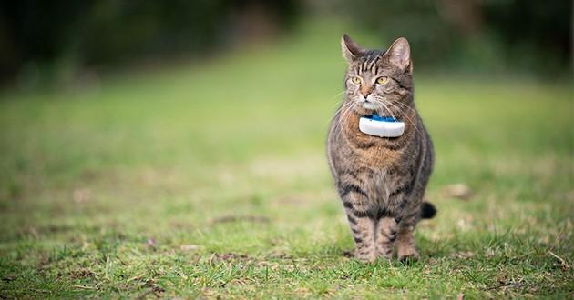 un chat portant un tracker gps attaché à un collier