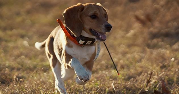 un chien avec un traqueur GPS