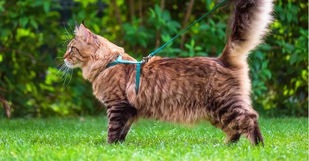 un chat Maine Coon avec un harnais et une laisse