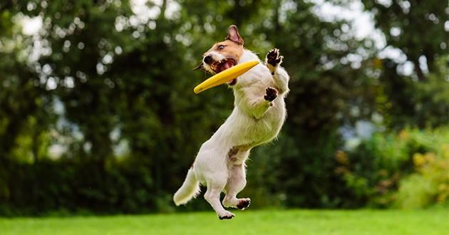 Un chien qui saute pour attraper une frisbee