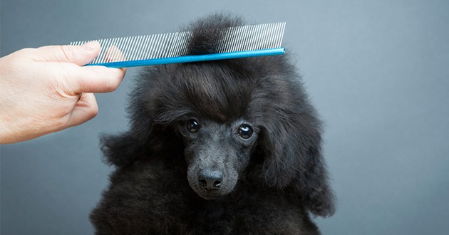 un chien se faisant coiffer avec un peigne